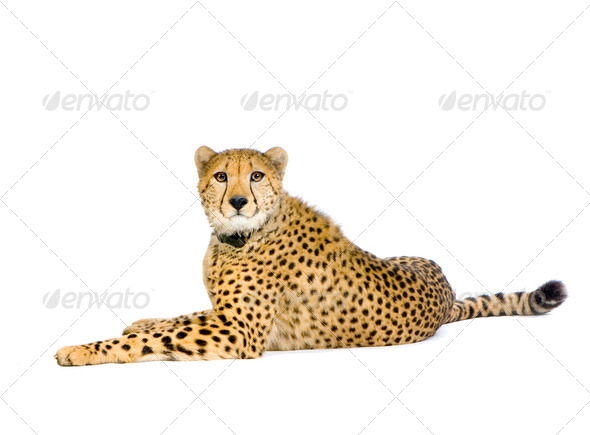 Cheetah  lying down - Stock Photo - Images