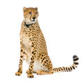 Cheetah sitting; - PhotoDune Item for Sale