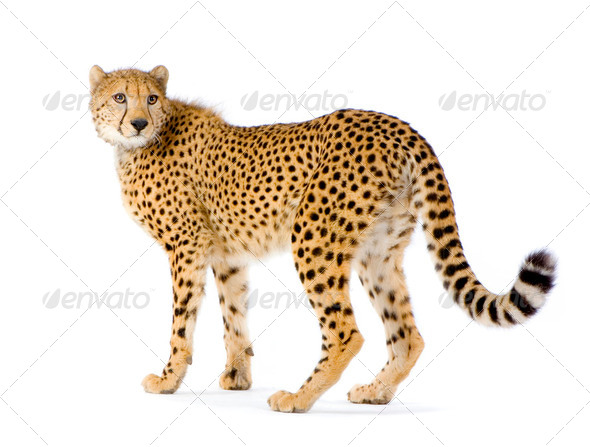 Cheetah standing up - Stock Photo - Images