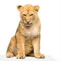 Lion Cub sitting - PhotoDune Item for Sale