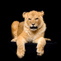 Lion Cub lying down - PhotoDune Item for Sale
