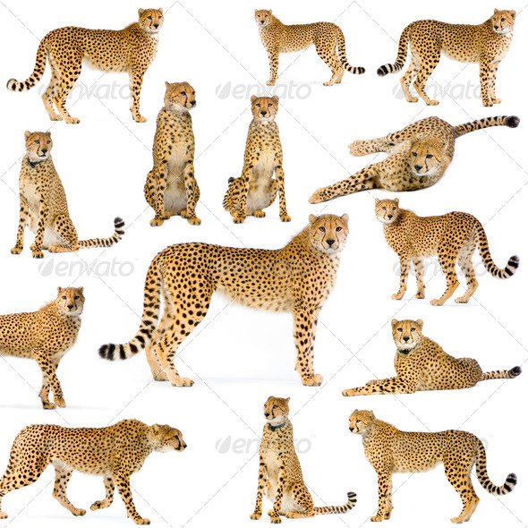 Fourteen Cheetahs - Stock Photo - Images