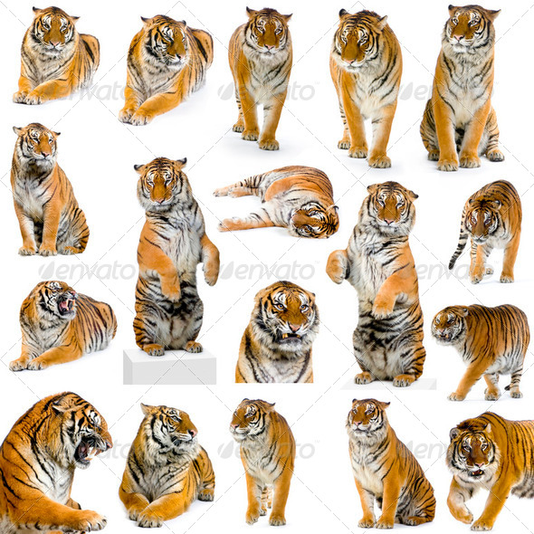 18 tigers - Stock Photo - Images