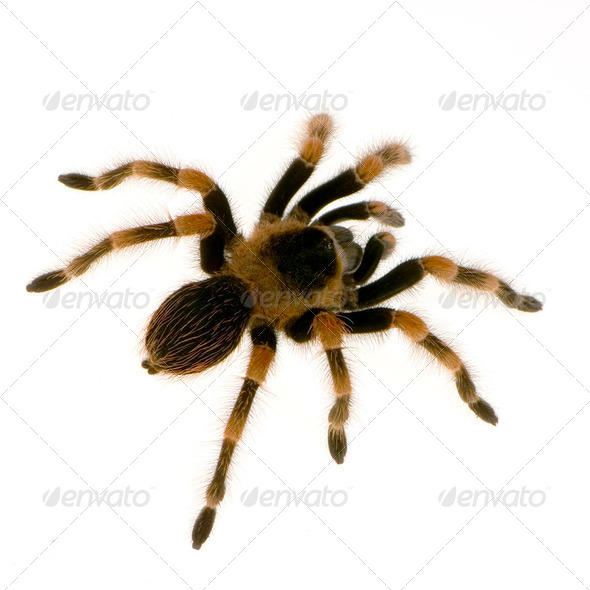 Mexican redknee tarantula - Stock Photo - Images