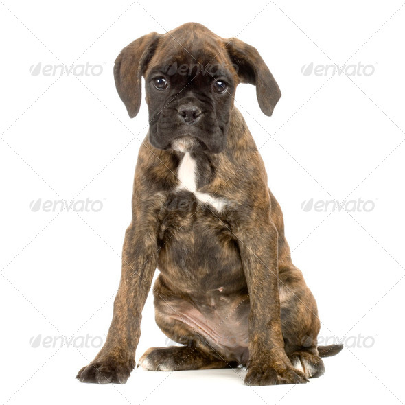 puppy Boxer - Stock Photo - Images