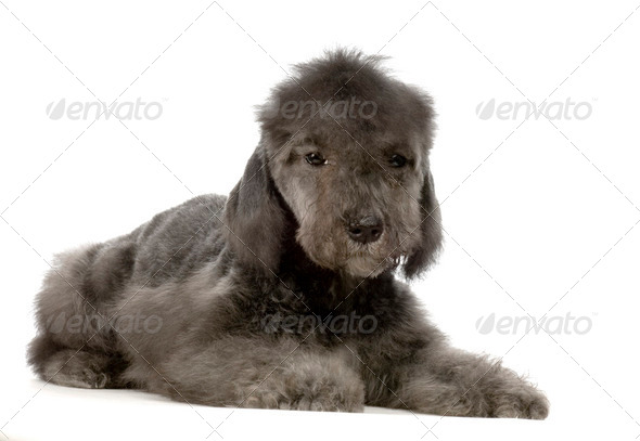 Bedlington Terrier - Stock Photo - Images