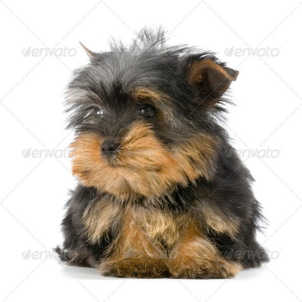 Puppy Yorkshire Terrier - Stock Photo - Images