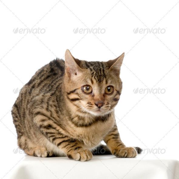 Bengal (cat) - Stock Photo - Images