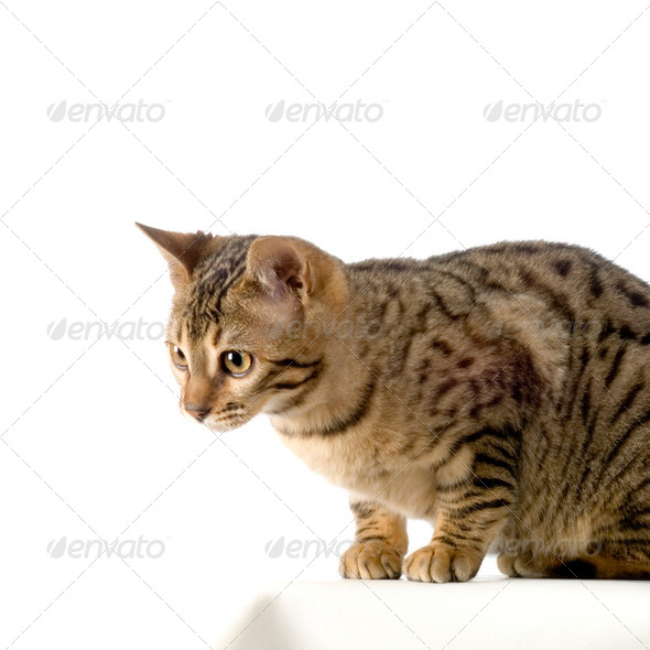 Bengal (cat) - Stock Photo - Images