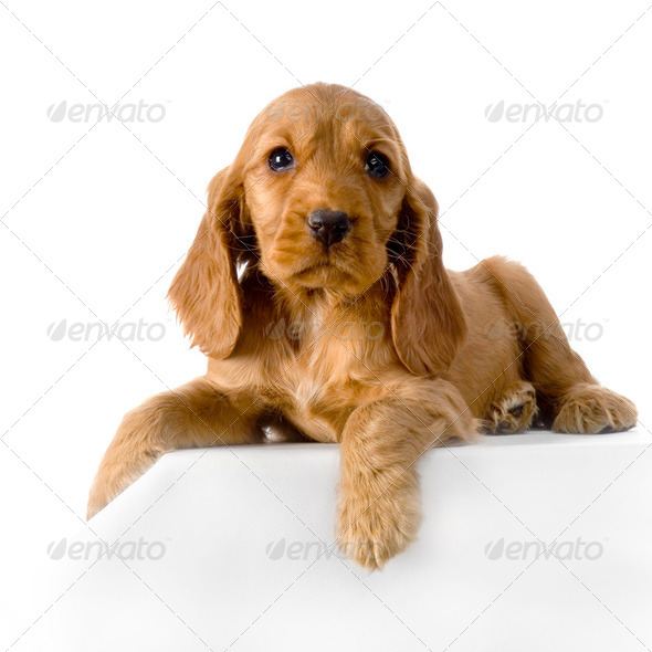 English Cocker Spaniel puppy - Stock Photo - Images