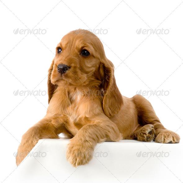 English Cocker Spaniel puppy - Stock Photo - Images