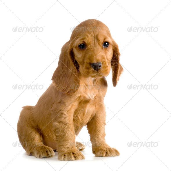 Сколько стоит английский кокер спаниель щенок