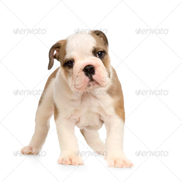 english Bulldog puppy - Stock Photo - Images