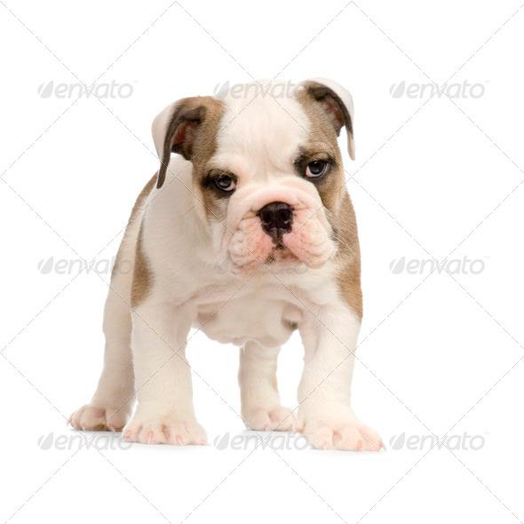 english Bulldog puppy - Stock Photo - Images