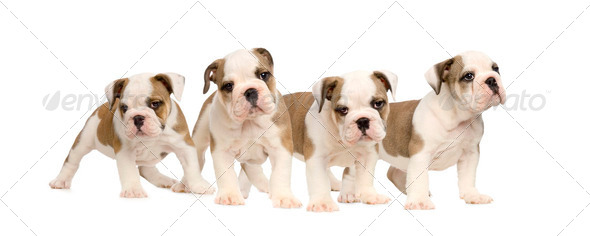 English bulldog puppies - Stock Photo - Images