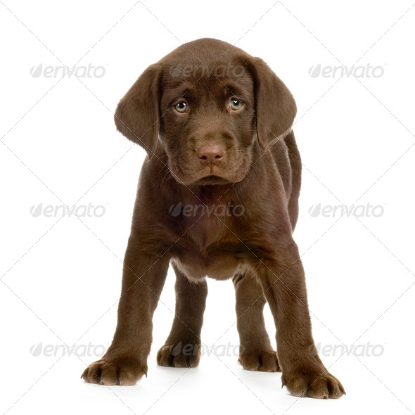 Labrador retriever chocolate - Stock Photo - Images