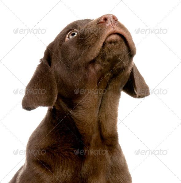 Labrador retriever chocolate - Stock Photo - Images