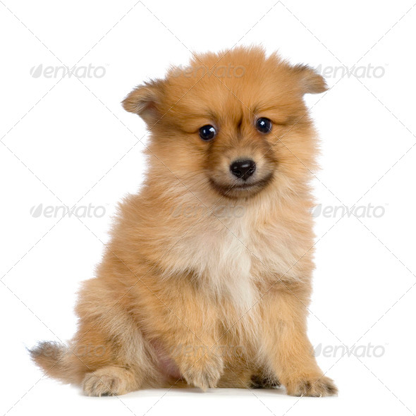 Spitz puppy - Stock Photo - Images