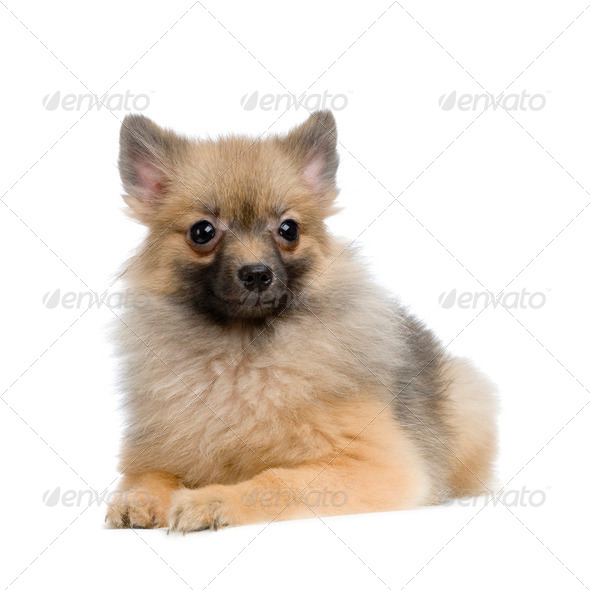 Keeshond - Stock Photo - Images