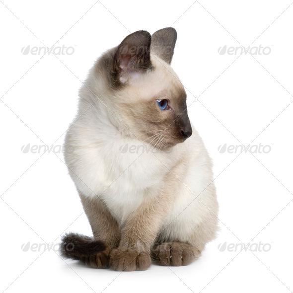 Kitten Siamese - Stock Photo - Images