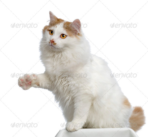 Siberian cat - Stock Photo - Images