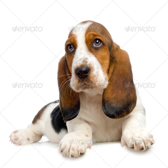 Basset Hound  Puppy -  Hush Puppies - Stock Photo - Images