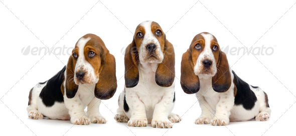 Basset Hound  Puppies -  Hush Puppies - Stock Photo - Images