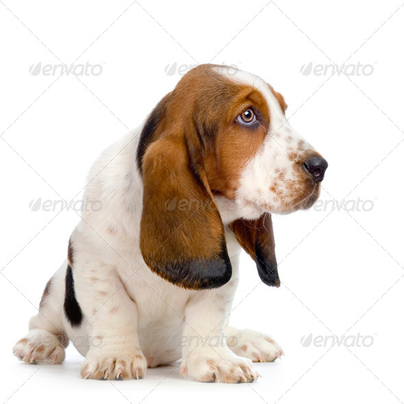 Basset Hound  Puppy -  Hush Puppies - Stock Photo - Images
