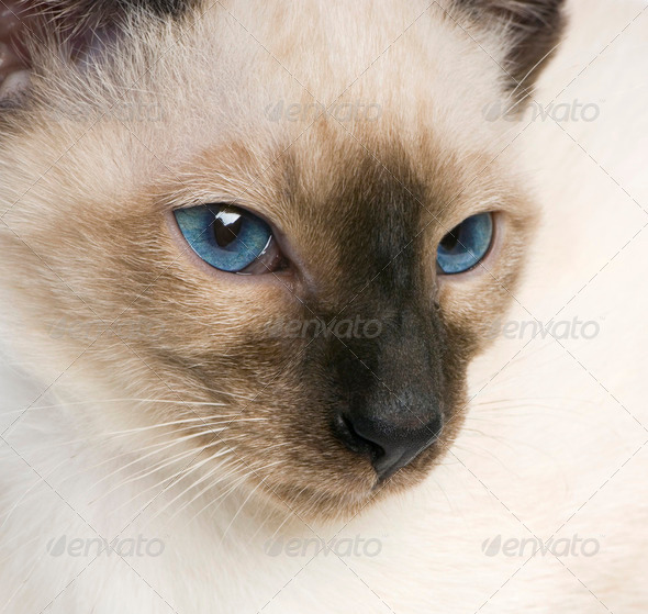 Young Siamese - Stock Photo - Images