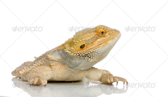 Bearded Dragon - pogona vitticeps - Stock Photo - Images
