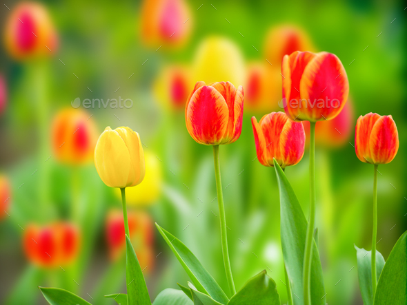 Natural green background with blooming tulips natural light - Stock Photo - Images