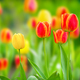 Natural green background with blooming tulips natural light - PhotoDune Item for Sale