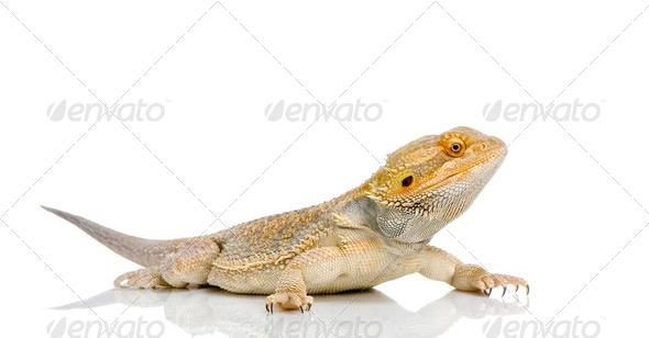 Bearded Dragon - pogona vitticeps - Stock Photo - Images