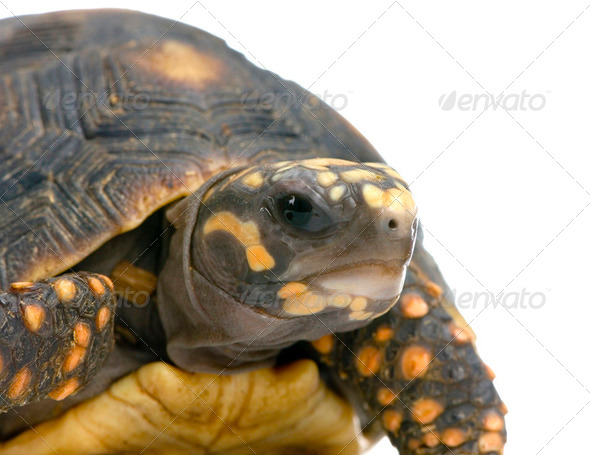 Red-footed tortoise -  Geochelone carbonaria - Stock Photo - Images