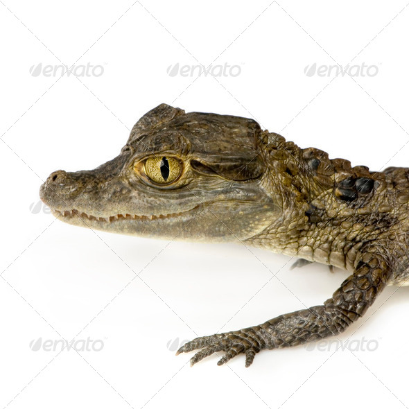 young Spectacled Caiman  -  Caiman crocodilus - Stock Photo - Images