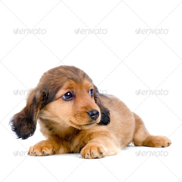 Dachshund puppy - Stock Photo - Images