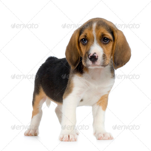 Puppy Beagle - Stock Photo - Images