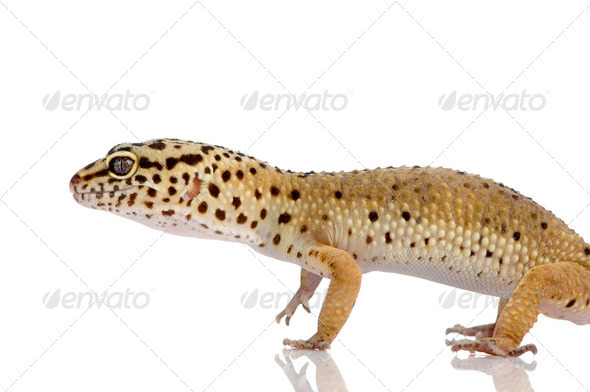 Leopard gecko - Stock Photo - Images