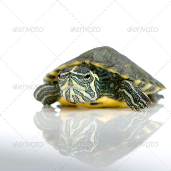 Turtle  - Acanthochelys - Stock Photo - Images