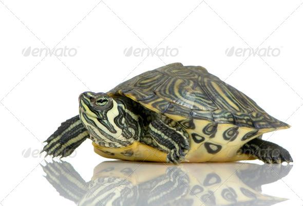 Turtle  - Acanthochelys - Stock Photo - Images