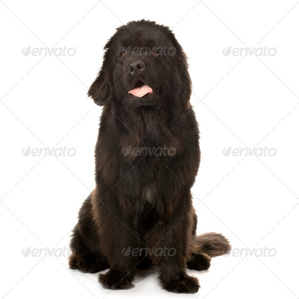Newfoundland dog - Stock Photo - Images