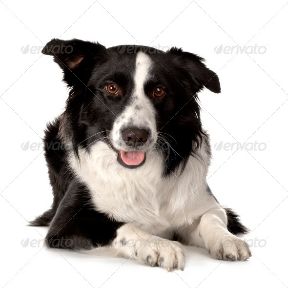 Border Collie Breed - Stock Photo - Images