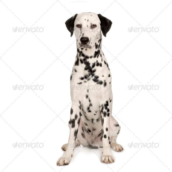 Dalmatian - Stock Photo - Images