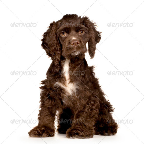 Puppy Cocker Spaniel - Stock Photo - Images