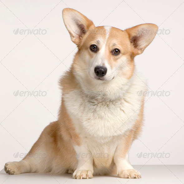 Cardigan Welsh Corgi - Stock Photo - Images