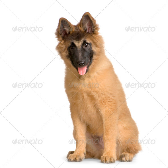 Puppy Belgian Tervuren - Stock Photo - Images