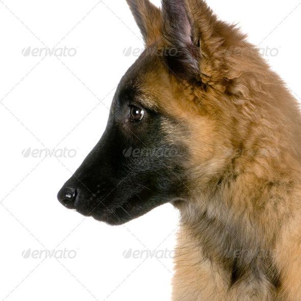 Puppy Belgian Tervuren - Stock Photo - Images