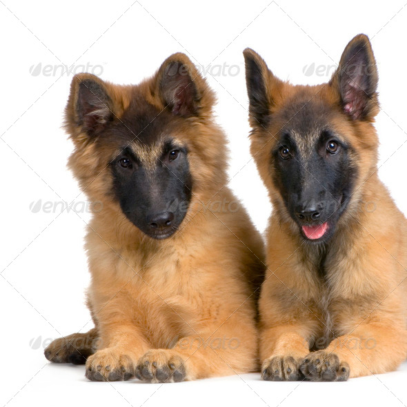 couple of Puppy Belgian Tervuren - Stock Photo - Images