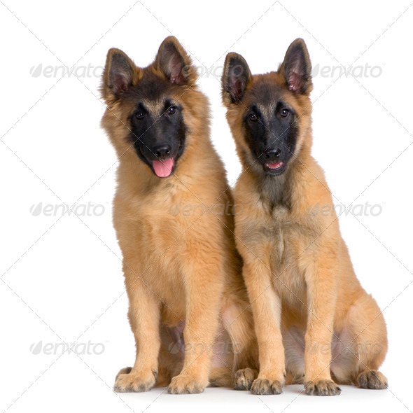 Couple of two Puppy Belgian Tervuren - Stock Photo - Images
