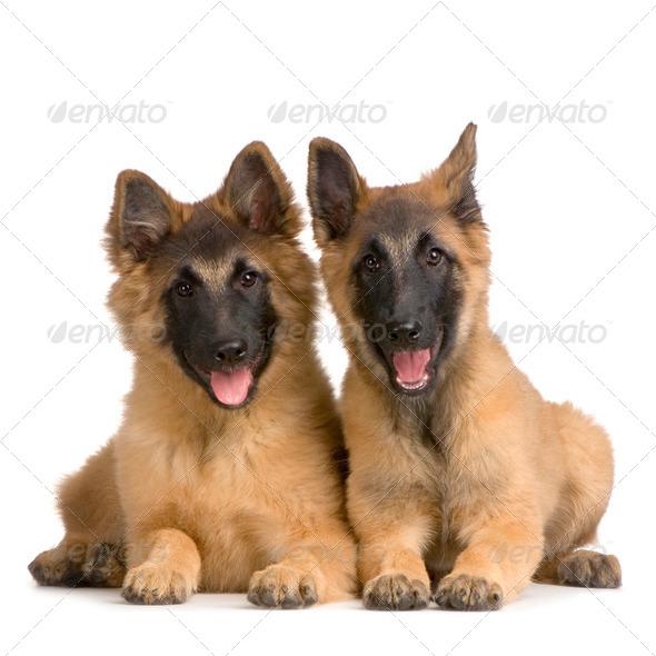 couple of Puppy Belgian Tervuren - Stock Photo - Images